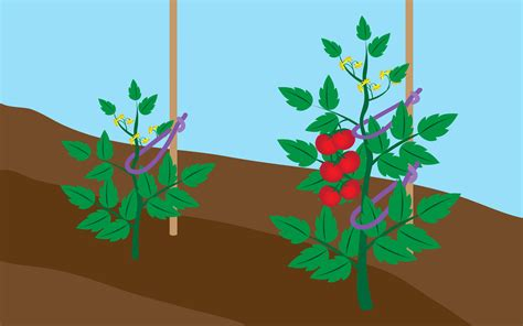 how to tie up tomatoes 9 steps with pictures wikihow