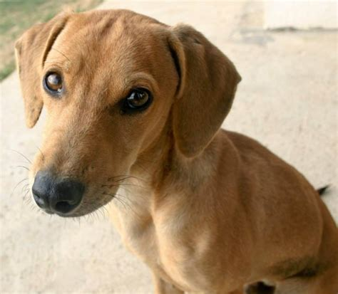 crossbreed dogs pinder 6 month cross breed for adoption