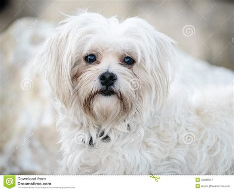 havanese white havanese bichon white pet stock photo image 45885947