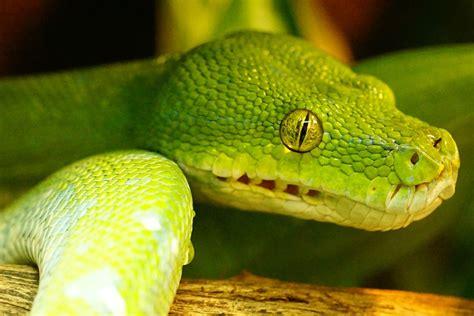 python heat l at free photo green tree python snake non toxic free