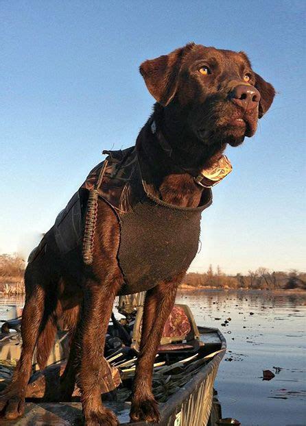 chocolate lab puppies ga las 25 mejores ideas sobre perros de caza de patos en perros de caza