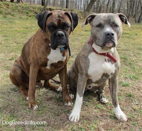 boxer pitbull puppy boxer and pit bull breeds picture