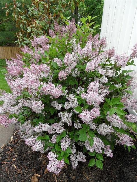 lilac flowering shrubs lilac plants i want lilacs