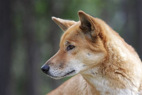 dingo dogs domestication some thoughts about dogs