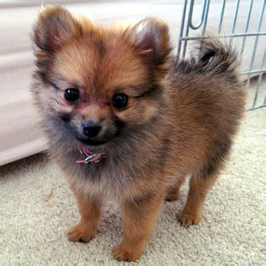 4 month pomeranian puppy 4 month pomeranian puppy for sale indianapolis usa free classifieds muamat