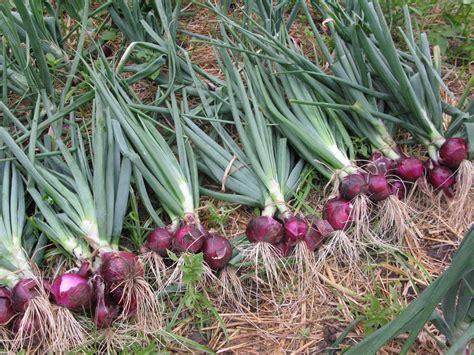 Jual Bibit Bawang Merah Di Malang bibit tanaman murah jual bibit bawang merah di bima