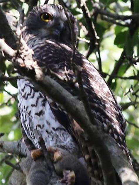 killer owl killer owl takes up residence dailytelegraph au