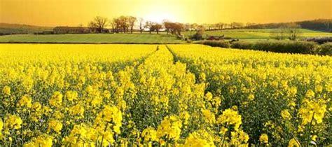Shelf Canola by High Oleic Oils Canola Soybean Sunflower