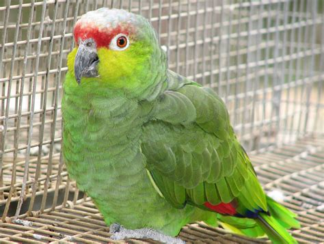 amazon parrot lilacine amazon from priam parrot breeding