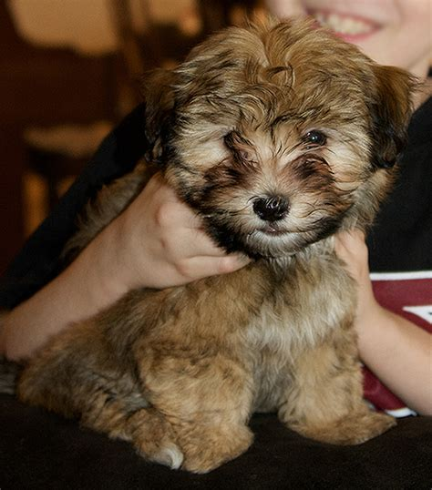 dogs for sale in az havanese puppy for sale az breeds picture
