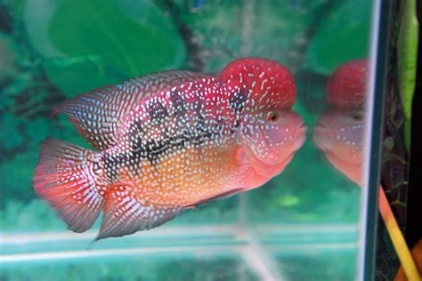 Ikan Louhan Synpilum Vieja Kamfa flowerhorn the hybrid cichlids best flowerhorn according