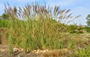 what is elephant grass the garden of eaden