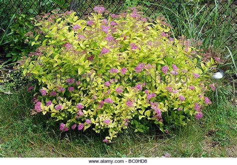 spirea shrub stock photos spirea shrub stock images alamy