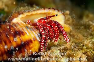 Argus Hermit Crab, Calcinus argus