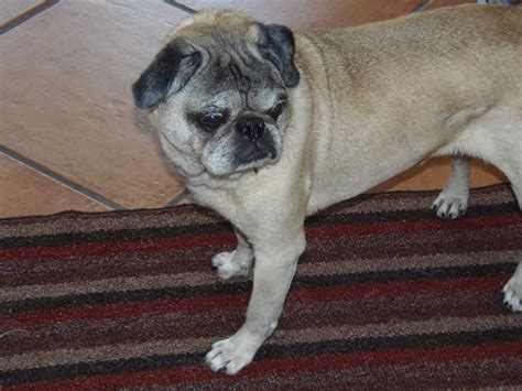 compassionate pug rescue south florida stubby compassionate pug rescue