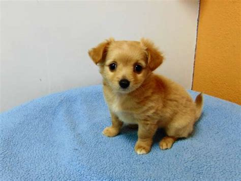 golden retriever pomeranian golden retriever pomeranian mix