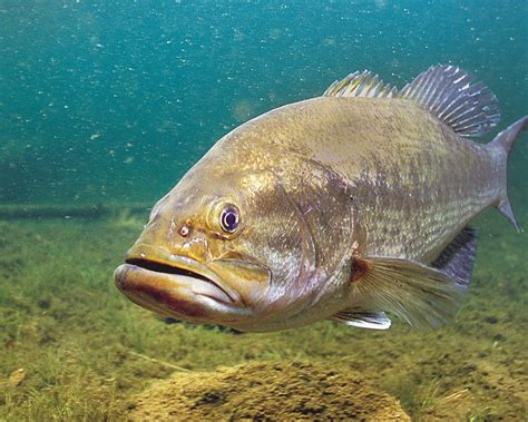 Fisch Bass by West Virginia Bass Forecast For 2015 Fish