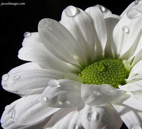 flowers scraps pictures images graphics for myspace flowers orkut scraps pictures friendster images
