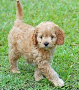 lifespan of a poodle terrier 17 best ideas about terrier poodle mix on