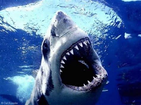 gambar ikan hiu indonesiadalamtulisan terbaru