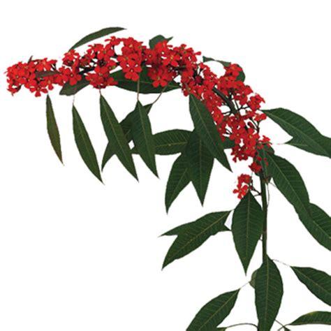 Vase Of Water Euphorbia Scarlet Plume Euphorbia Fulgens Pick Ontario
