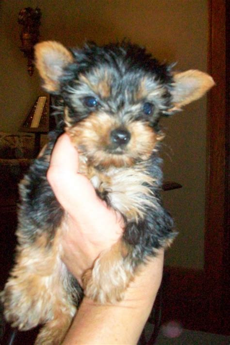 yorkie puppies for sale in nebraska terrier females for sale ne ohio yorkie puppi northeast ohio dogs for