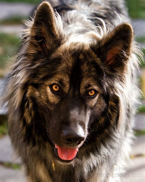 direwolf puppies 17 best images about american alsatian on from home colorado and american