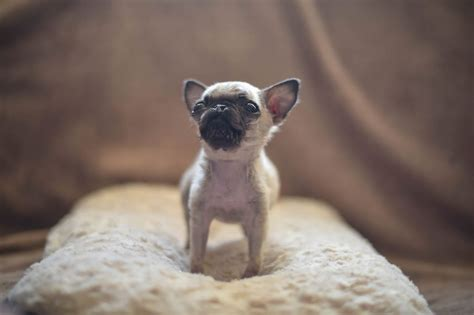 the smallest puppy in the world adorable pip the pug could possibly be the smallest puppy in the world gizmodiva