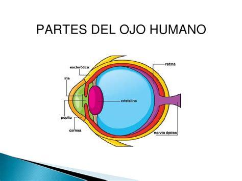 imagenes de los ojos y sus partes 191 vemos con el ojo o con el cerebro