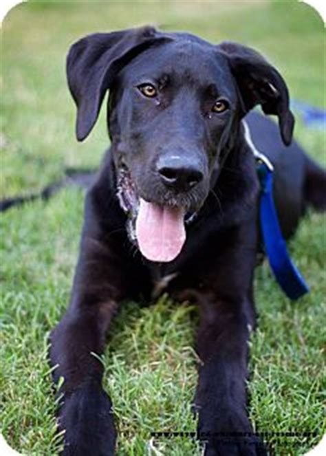 great dane puppies san antonio adopted puppy san antonio tx great dane great pyrenees mix