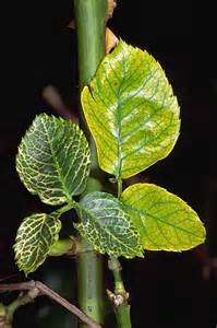 Abiotic Diseases Of Plants - diseases and abiotic disorders of outdoor roses
