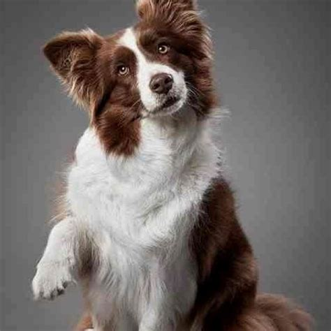 brown border collie puppies beautiful brown border collie favorite breeds
