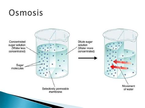 osmosis diagram osmosis cell diagram www pixshark images galleries