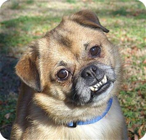 nc pug rescue ewok adopted mocksville nc pug pekingese mix