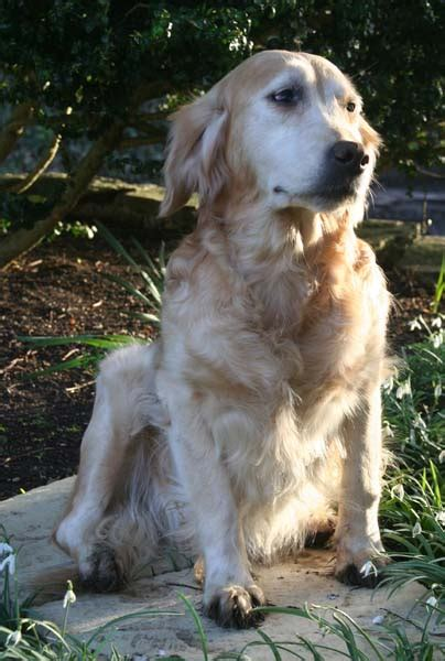 catcombe golden retrievers chien elevage des rives de la bidouze eleveur de chiens golden retriever