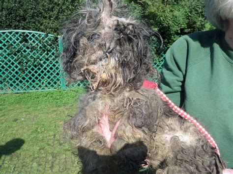 shih tzu rescue centre suffering worst animal neglect flintshire charity has seen in 60 years dies