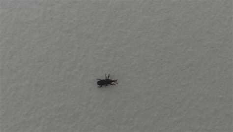 small bugs in house trying to identify black ant like bugs found occasionally in my apartment ask an expert