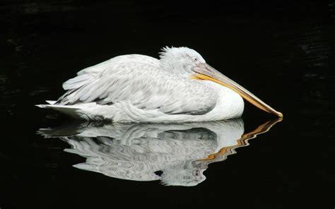 black pelican hd black pelican reflection wallpaper free 113895