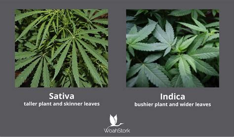 which is better or indica vs indica strains is there any to the dichotomy