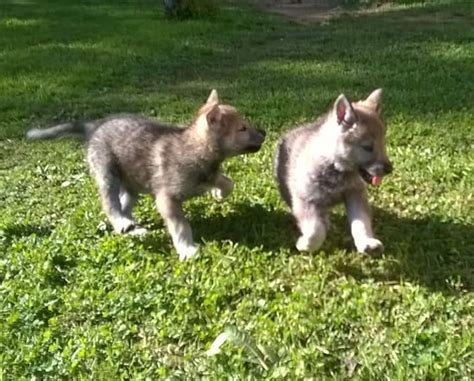 regalo cane lupo cecoslovacco cuccioli cane lupo cecoslovacco a pavone canavese kijiji
