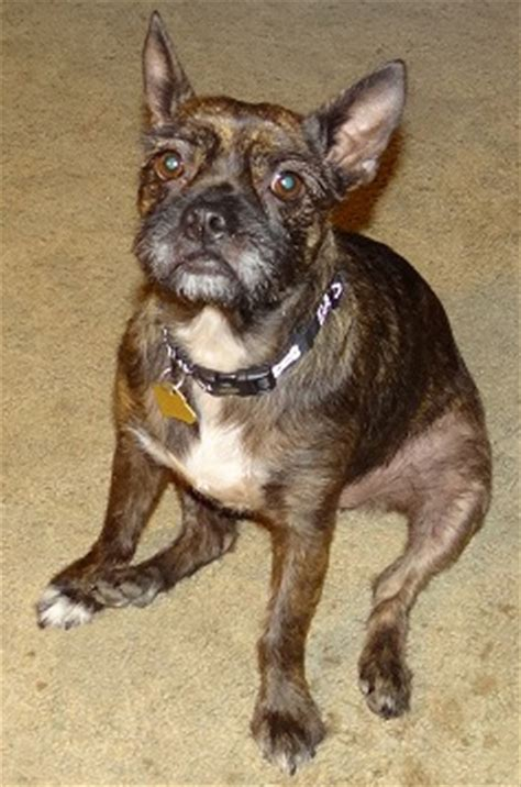 boston yorkie mix 14 boston terrier cross breeds you to see to believe