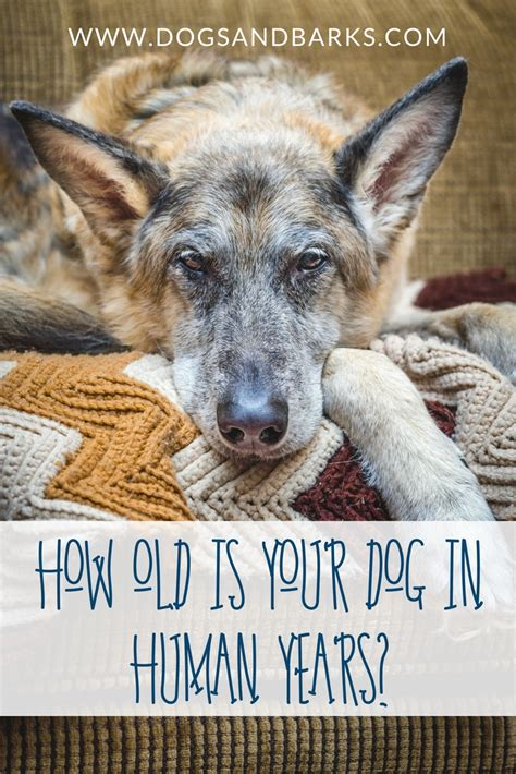 years in human how is your in human years dogs and bark