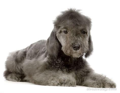 bedlington_terrier_puppy_1.jpg