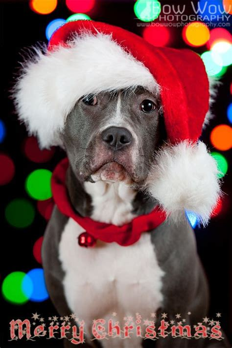 santa pits american pit bull terrier merry card puppy