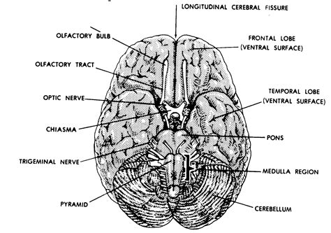 brain diagram top view diagram of the brain top view gallery how to guide and