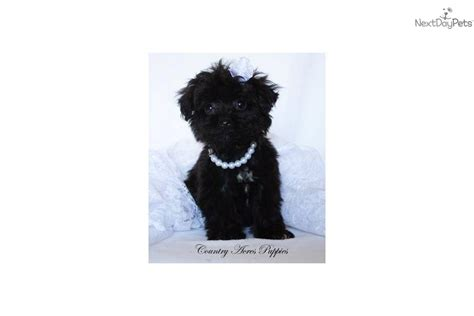 all black yorkie poo yorkiepoo yorkie poo for sale for 800 near bloomington normal illinois 84e51945 f501