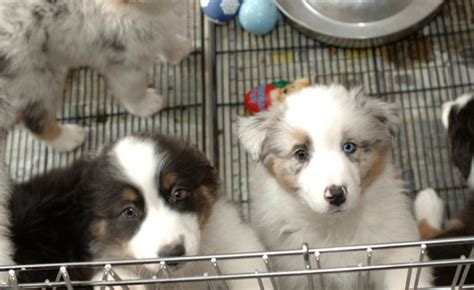 the puppy shop vancouver may limit sales of dogs and cats at pet stores