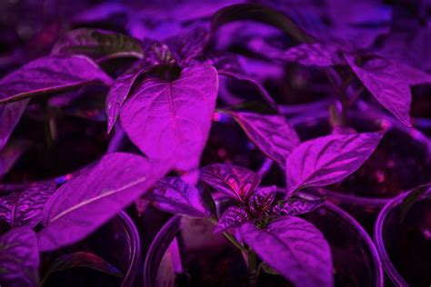 how far should led grow lights be from plants how far from flower tops should a led grow light be