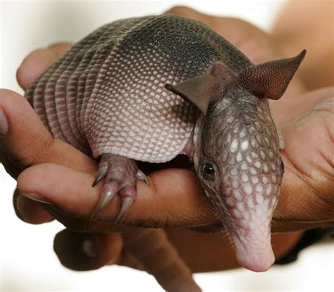 Armadillo Pet Pet Pet Product by Leprosy S Disappearing Act Came From Health