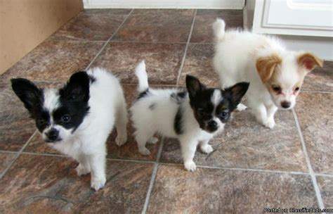 papillon puppy price papillon puppies butterfly dogs price 600 obo for sale in grand rapids michigan